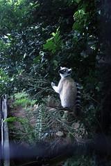 Lemur (Achala Photography) Tags: animal 動物 동물 动物 achala حيوان rajapaksha haiwan животное สัตว์ விலங்கு पशु পশু සත්තු