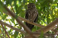 Owl  Barking (CampaspeBirdo) Tags: nt jabiru australianbirds 375 barkingowl kakadunp ninoxconnivens