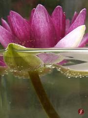 Seerose (bornschein) Tags: pink summer flower green nature water garden