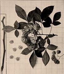 Anglų lietuvių žodynas. Žodis trifoliate reiškia a  bot. trilapis 2 archit. papuoštas trilapiu ornamentu lietuviškai.