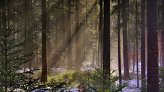 Another Day (flowerikka) Tags: forest trees sunrise snow winter cold sunbeam light landscape nature green wald leaves beam black