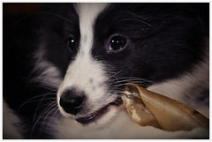 So süße Augen-blicke.... (Uli He - Fotofee) Tags: ulrike ulrikehe uli ulihe ulrikehergert hergert nikon nikond90 fotofee sheltie fleur shetlandsheepdog baby welpe hundekind dog puppy wachsam sanft intelligent kräftig lebhaft liebevoll verständig kreuzungsprodukt collie shetlandinseln standart fci hütehund begleithund hundesport rettungshund therapiehund kleinausführungdescollie
