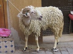 Fes, Morocco. This  sheeps will soon be slaugheterd for the celebration of Eid ul-Adha, or Aid-el-Kebir. (Leo Kerner) Tags: medina morocco fes feselbali