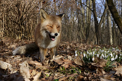 Very funny! (Päivi ♪♫) Tags: fox forest spring flowers norway oslo birthday lumikello snødrops galanthusnivalis snowdrop