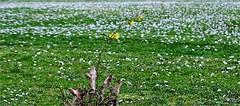 New Life - Nueva Vida (Konny ;-))) Tags: margerites margeriten margherite marguerites margaritas margaridas tenderness zartheit tenerezza tendresse fragility fragilité fragilità zerbrechlichkeit fragilidad fragilidade delicadeza delicacy forsythia forsythie goldflieder goldglöckchen stangenblüter forsizia φορσύθια forsycja