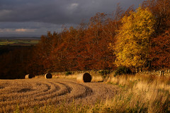 Red & Gold (ajp~) Tags: pressmennanwood eastlothian scotland ash beech autumn autumncolours trees woodland woods sky cloud shadow bales strawbales farmland field gold wall stonewall canon 6d canon70300mmf456l alanjohnstone