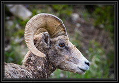 Bighorn Ram (Rick-Willis) Tags: adobelightroom animals horizontal ononesoftware usa wyoming