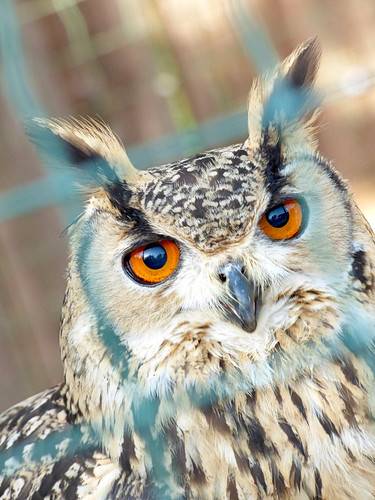 Paphos Zoo - Bengalese eagle owl (3)