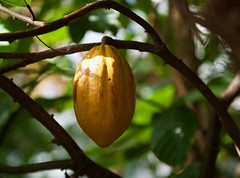 Cacao! (ineedathis,The older I get the more fun I have....) Tags: theobroma cacao cocoa cacaotree cocoatree southamerica centralamerica cocoaseedpod leaves tropical chocolate nikond750