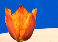 Orange and Blue (davecrev) Tags: hmm macromondays orange blue orangeandblue