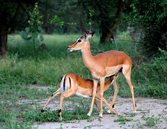 Impala (zimbart) Tags: africa mozambique gorongosanationalpark fauna vertebrata mammals artiodactyla bovidae aepyceros aepycerosmelampus impala