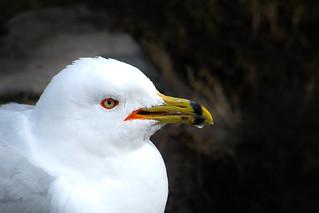 Goéland à bec cerclé / Ring-billed Gull / Larus delawarensis / D21_0766_lz_s