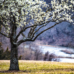 """""""The day the Lord created hope was probably the same day he created Spring."""" ~ Bern Williams (d_russell) Tags: 365the2017edition 3652017 day72365 13mar17 spring tree floweringtree park lake grass"""
