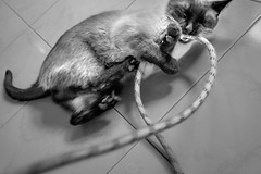 Not the rope! (Ojo de Piedra) Tags: xseries titín playful cute cat espeleo fujifilm felinos floor claws xt10 teeth predator cavinggear ropeaccess fierce ropes playing games blackwhite cats bitiing mexico mex