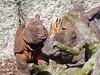 Im Zoo, 11.3.17 (ritsch48) Tags: zoo zoobasel nashorn panzernashorn quetta orys