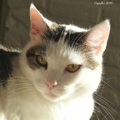 Jasmijn (Cajaflez) Tags: pet cat kat katze chat gatto portrait portret sunlight sunshine zonlicht zonnen huisdier jasmijn coth5