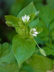 はこべ (nofrills) Tags: plant plants flora floral flowers weed weeds spring roadside tokyo japan ハコベ chickweed commonchickweed white whiteflowers whiteflower macro