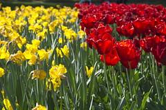 _DSC0714 (Riccardo Q.) Tags: parcosegurtàtulipani places parco altreparolechiave fiori tulipani segurtà