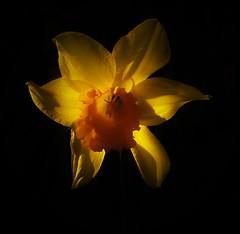 Daffodil..x (Lisa@Lethen) Tags: backlit daffodil flower spring light shadows black background nature petal