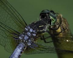 DragonFly_SAF9499 (sara97) Tags: copyright©2016saraannefinke dragonfly flyinginsect insect missouri mosquitohawk nature odonata outdoors photobysaraannefinke predator saintlouis towergrovepark urbanpark