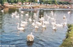 Swan Lake (M C Smith) Tags: swans water grass trees lake hut