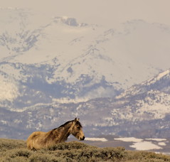 Cold Country (chad.hanson) Tags: wyoming wildlife mustangs wildhorses windrivermountains