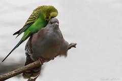 Liebe kennt keine Grenzen (Sonja Hahn) Tags: schopftaube wellensittich vogel bird wilhelma stuttgart