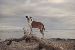 15/52 on the look out (Jutta Bauer) Tags: 52weeksfordogs 52weeksforedgar dog boxermix pitbullmix excellentedgar beach spring april mood