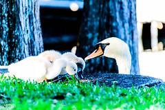 Proud Papa (MsAdemarro) Tags: hatchings animalbabies babyanimals swan babyswan cygnets animaldads lakeeola orlando florida springtime sunnyday