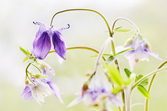 Simply Beautiful (macplatti) Tags: colobine blue blau akelei flora nature springtime fruehling gruen violet violett tender zart koblach vorarlberg austria aut