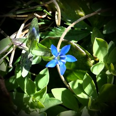Little blue Star (michellemätzig) Tags: blue green flower germany europe good gorgeous best beautiful awesome incredible exciting favorite fantastic wow colour shadow light day