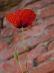 Born in a wall... (carlo612001) Tags: flower flowers blossom blooming red spring wall fiore fioritura primavera muro papavero papaveri poppy poppies fleur blumen bravo