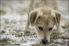 """4-12 """"agnes"""" (Dave (www.thePhotonWhisperer.com)) Tags: mutt mixedbreed dog puppy adoptee yard snow"""