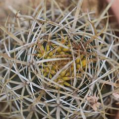 Ferocactus chrysacanthus (alloe.) Tags: ferocactus