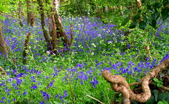 Bluebell Dell. (pstone646) Tags: bluebells woodland nature flora flowers kent trees view plants spring ngc