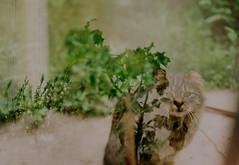 Native (Batuhan A Priori) Tags: analogue analog analogphotography analoguephotography analogica analogcamera artwork art film filmphotography filmart filmcamera fujifilm filmcommunity cat 35mm 35mmfilm 35mmfilmphotography exposure eskişehir energy wild native canon canona1 color doubleexposure double door doubleexposicion