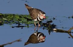 Three-banded Plover  (Charadrius tricollaris) (Ian N. White) Tags: threebandedplover charadriustricollaris lobatse botswana