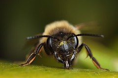 A tired female miner bee (Lord V) Tags: macro bug insect bee minerbee andrena