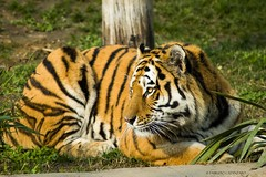Tiger (fabricata) Tags: animal tiger tigre nature natura wildlife mammal mammifero carnivore