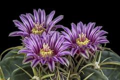 Ferocactus macrodiscus (clement_peiffer) Tags: ferocactus macrodiscus flowerscolors d7100 105mm nikon cactus fleurs flower cactaceae succulent peiffer clement