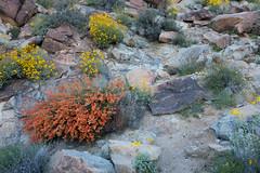 Petroglyphs (joeqc) Tags: sony rx100ii rx100m2 rx100mii rx100 grapevinecanyon mojave desert flower petroglyph rockart bloom nv nevada clark county spiritmountainwilderness