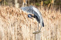 (chana4 ( Nancy Charlton)) Tags: grand heron exterieur nature