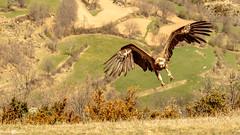 Buitre leonado (www.jorgelazaro.es) Tags: griffonvulture autóctonas aves saiarrea buitreleonado pájaro animal voltorcomú pájaros pico accipitridae naturaleza voitre fauna pluma gypsfulvus