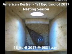 American Kestrel - 1st Egg Laid of 2017 Nesting Season (Darin Ziegler) Tags: americankestrel sparrowhawk falcosparverius nestbox coloradosprings vivotekfd8151vnetworkcamera nest urban colorado
