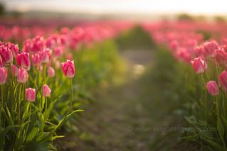 Pink Tulips Golden Light