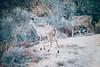 Kudu Sight