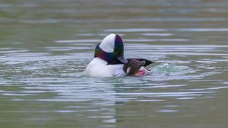 Bufflehead Couple Mating