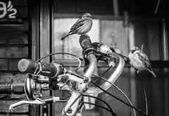 """Bike Birds (Jay:Dee) Tags: """"topw2017rs"""" topw toronto photo walks gerrard street urban city bird sparrow bike bicycle black white bw"""
