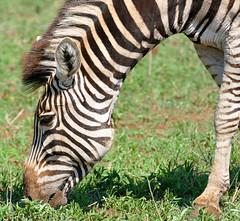 Plains Zebra (Equus quagga burchellii) grazing (berniedup) Tags: plainszebra equusquaggaburchellii zebra taxonomy:binomial=equusquaggaburchellii taxonomy:binomial=equusquagga equusquagga lowersabie kruger