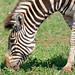 Plains Zebra (Equus quagga burchellii) grazing